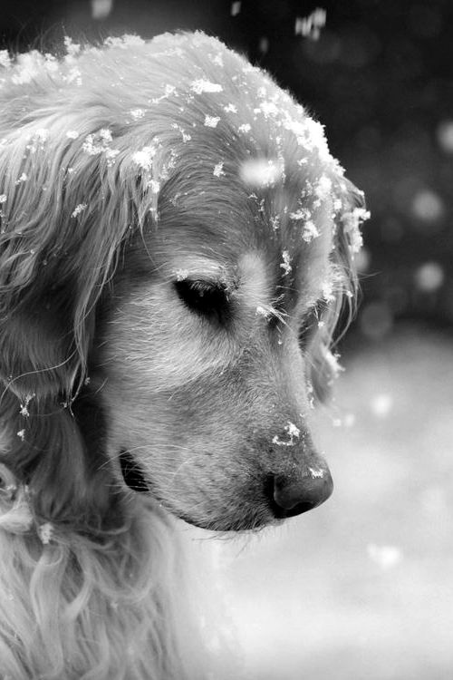 golden-retriever-watching-the-snowflakes-photo-by-victoria-neer-on-getty-images
