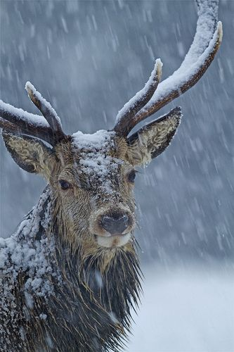 red-deer-in-winter-storm-brian-chard-photo-by-marwell-wildlife-on-flickr