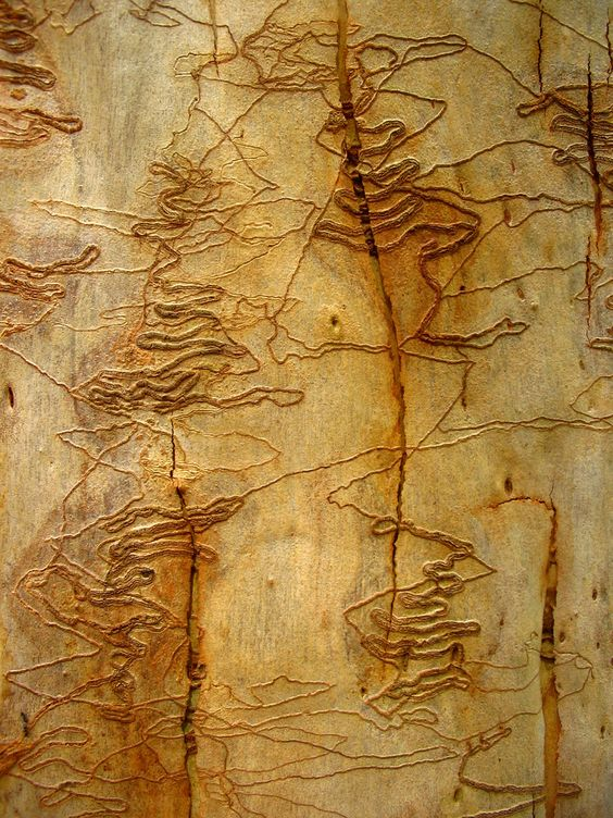 scribbly-bark-photo-by-omnia-on-flickr